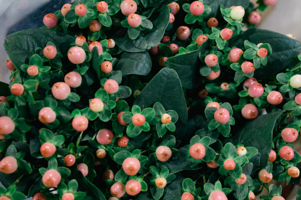 New Covent Garden Flower Market November 2017 Product Profile Report Hypericum Inodorum Magical Pink Giant At Zest Flowers