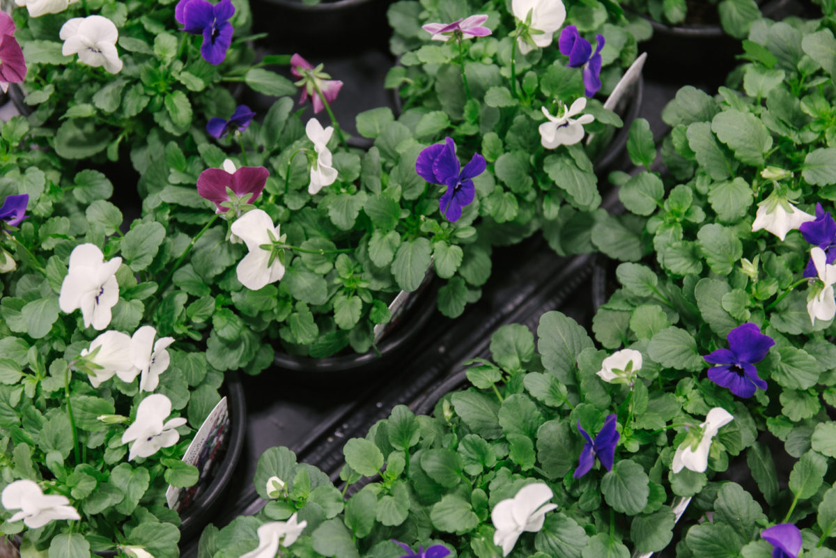 New Covent Garden Flower Market November 2018 In Season Report Rona Wheeldon Flowerona British Viola Plants At L Mills
