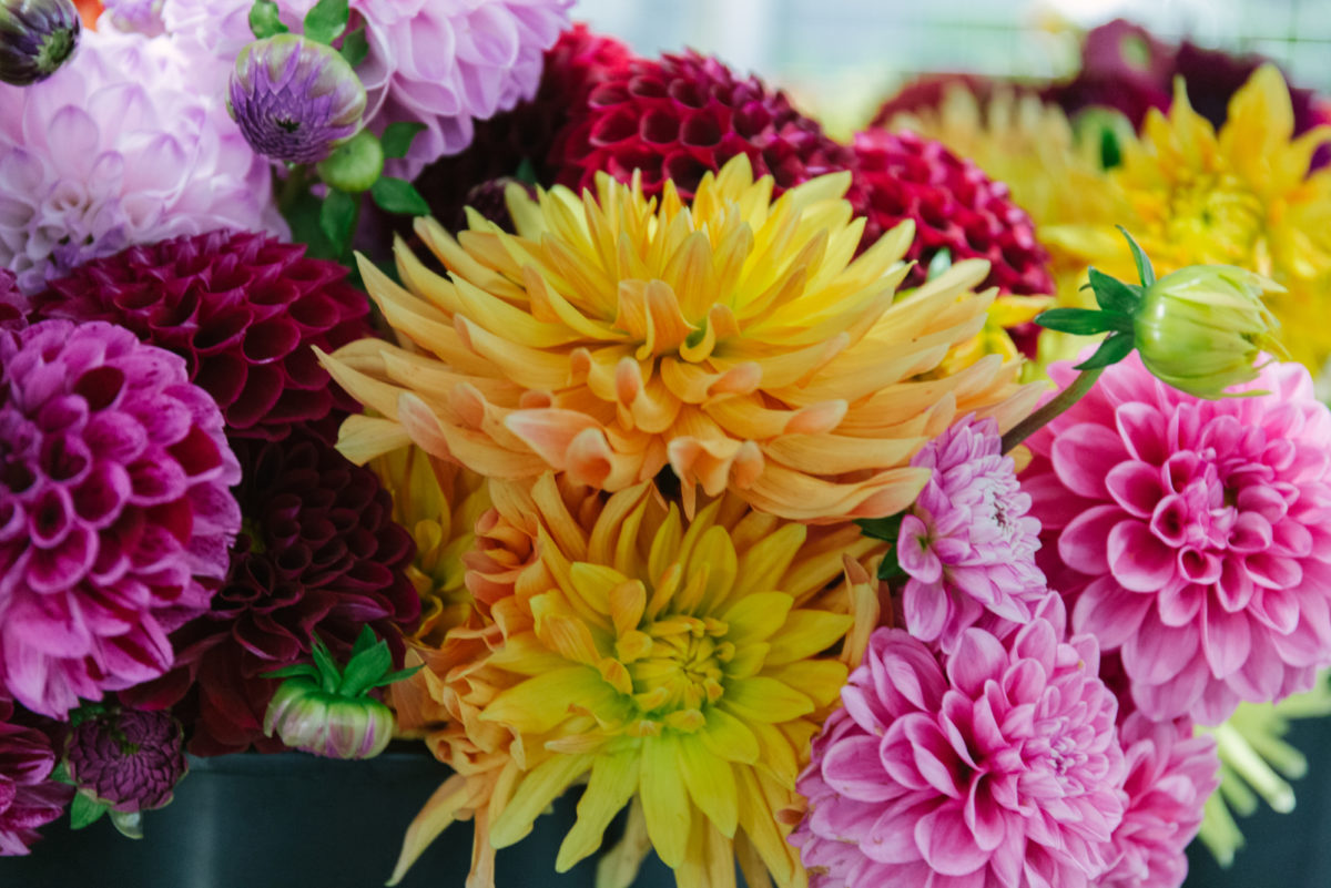 New Covent Garden Flower Market November 2018 In Season Report Rona Wheeldon Flowerona Buckets Of British Dahlias At J H Hart Flowers