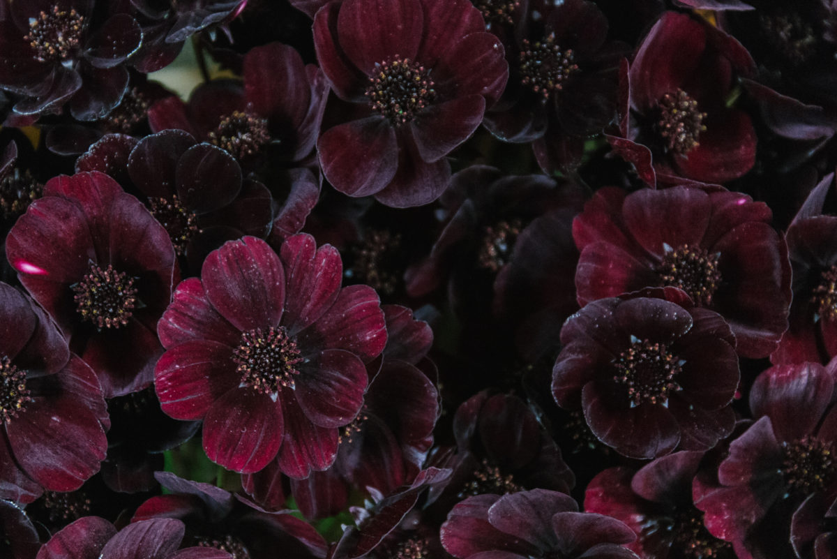 New Covent Garden Flower Market November 2018 In Season Report Rona Wheeldon Flowerona Chocolate Cosmos At Dennis Edwards Flowers
