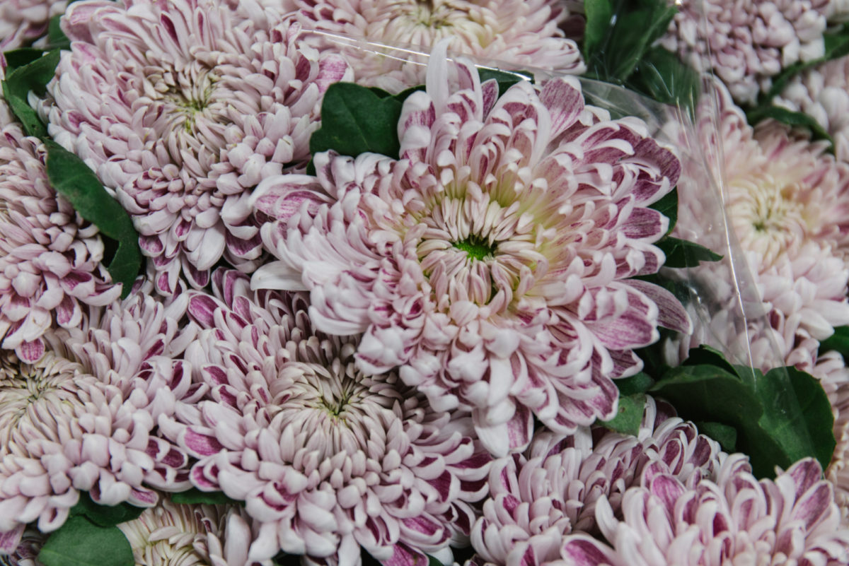 New Covent Garden Flower Market November 2018 In Season Report Rona Wheeldon Flowerona Chrysanthemum Gilbert Leigh Silver At Dennis Edwards Flowers
