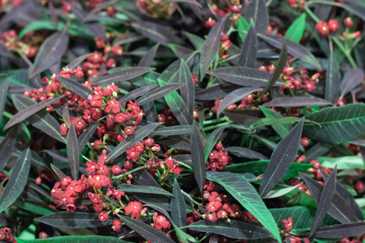 New Covent Garden Flower Market October 2015 Market Report Flowerona Euphorbia Fulgens Kuttlers Samtrot