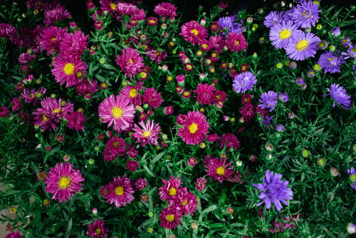 New Covent Garden Flower Market October 2017 Flower Market Report British Michaelmas Daisy Plant Varieties At L Mills