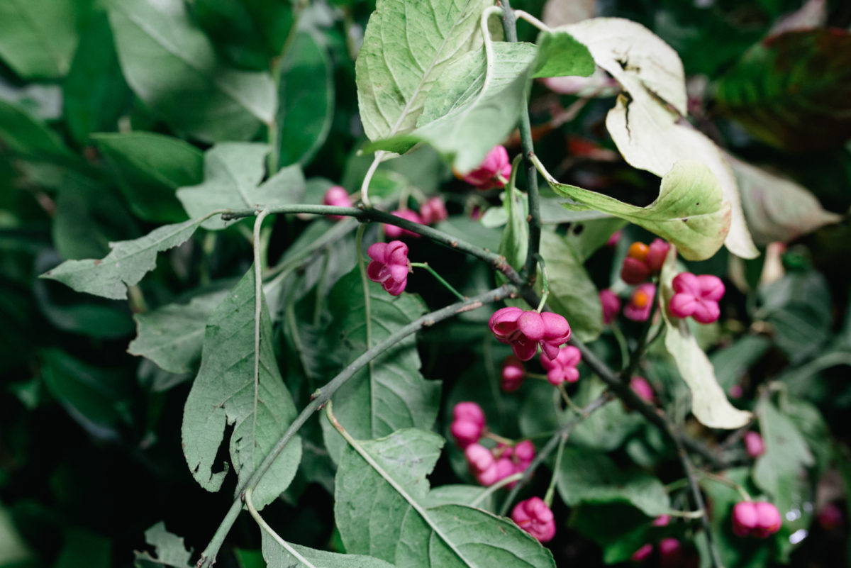 New Covent Garden Flower Market October 2017 Flower Market Report British Spindleberry At Porters Foliage