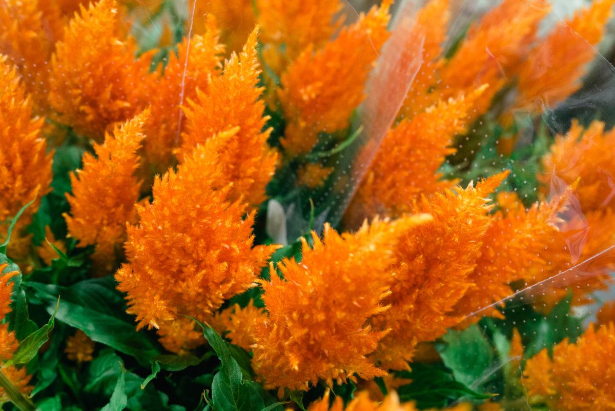 New Covent Garden Flower Market October 2017 Flower Market Report Celosia Argentea ' Sunday Orange' At A Goodchild