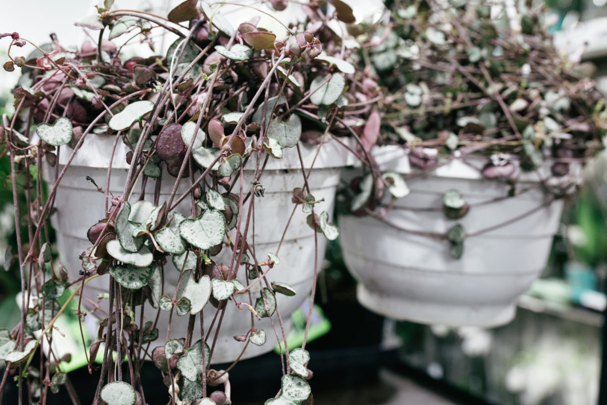 New Covent Garden Flower Market October 2017 Flower Market Report Ceropegia String Of Hearts At Quality Plants
