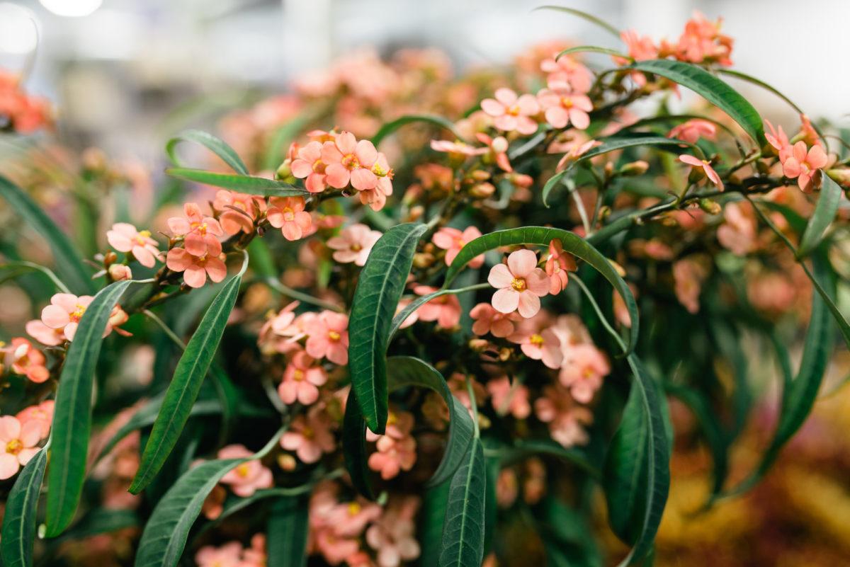New Covent Garden Flower Market October 2017 Flower Market Report Euphorbia Fulgens ' Pink Baron' At Bloomfield