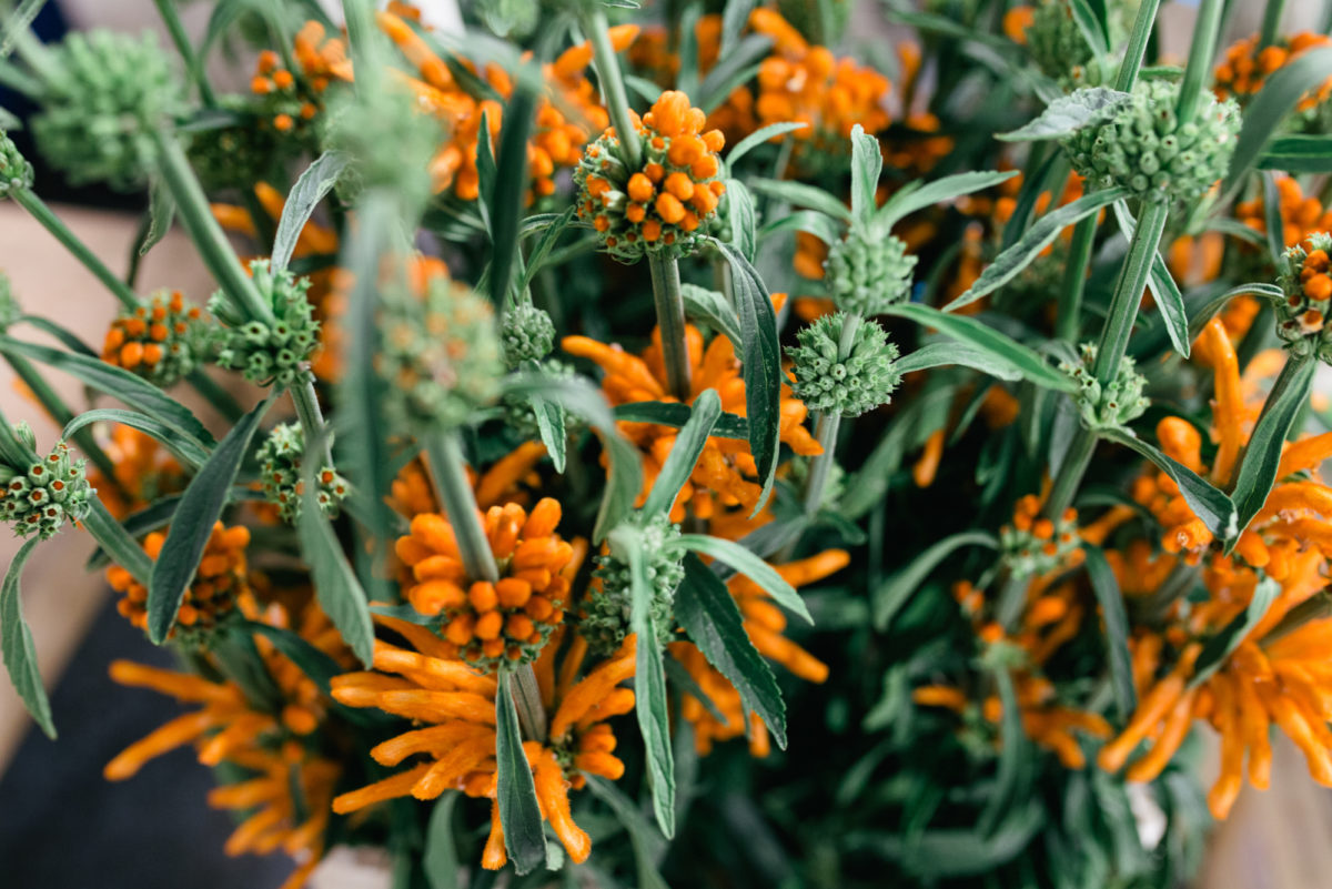 New Covent Garden Flower Market October 2017 Flower Market Report Leonotis Leonurus At Dennis Edwards Flowers Also Known As The Staircase Plant