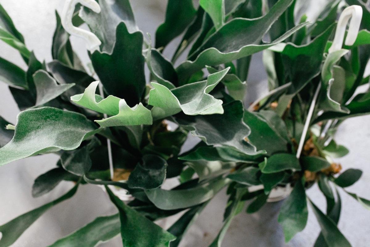 New Covent Garden Flower Market October 2017 Flower Market Report Staghorn Fern Platycerium At Quality Plants