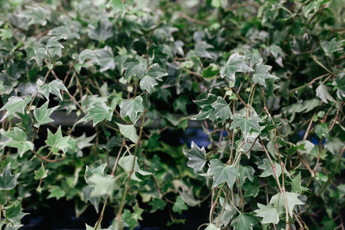 New Covent Garden Flower Market October 2017 Flower Market Report Trailing Ivy Hedera At Evergreen Exterior Services