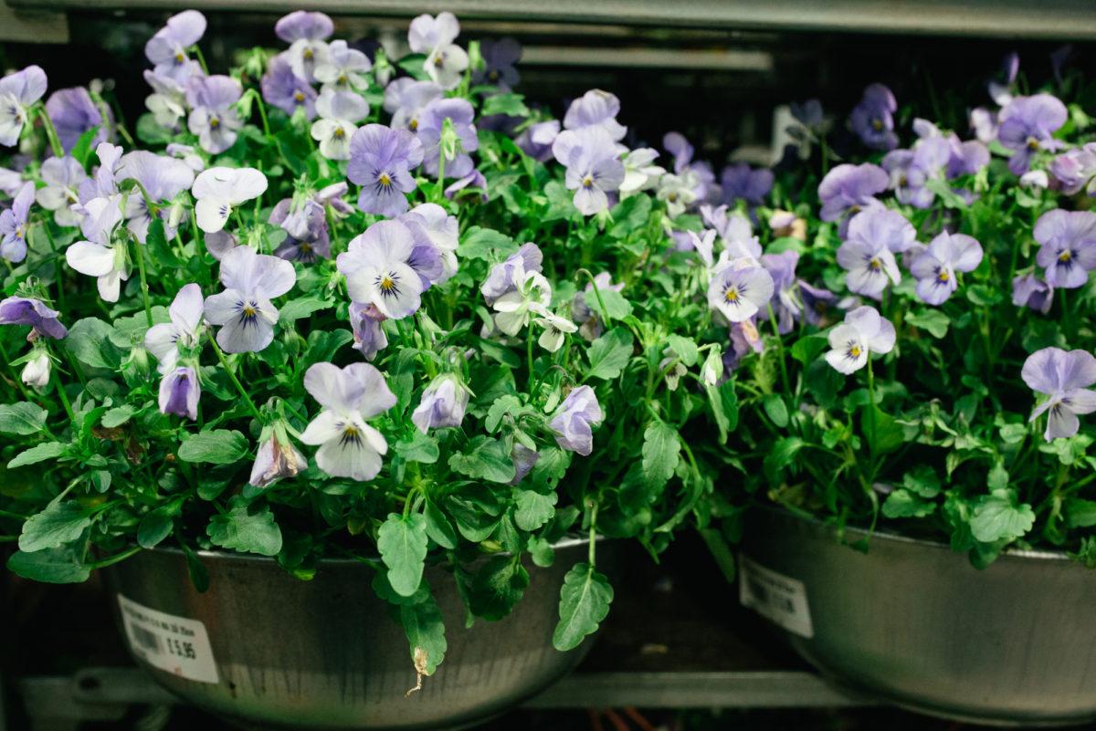 New Covent Garden Flower Market October 2017 Flower Market Report Violas In Metal Pots At A Goodchild