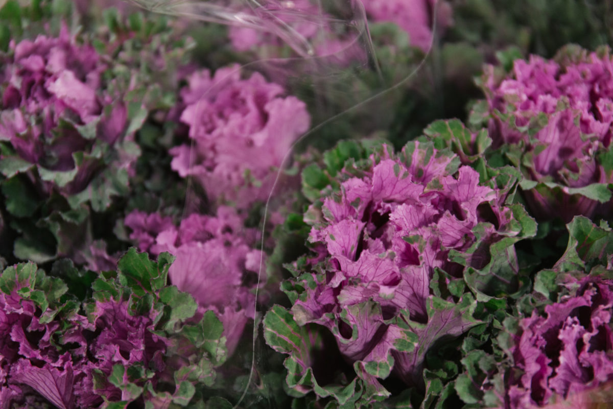 New Covent Garden Flower Market October 2018 In Season Report Rona Wheeldon Flowerona Brassica First Lady At Zest Flowers