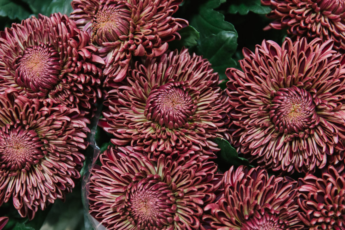 New Covent Garden Flower Market October 2018 In Season Report Rona Wheeldon Flowerona Claret Chrysanthemums At Bloomfield
