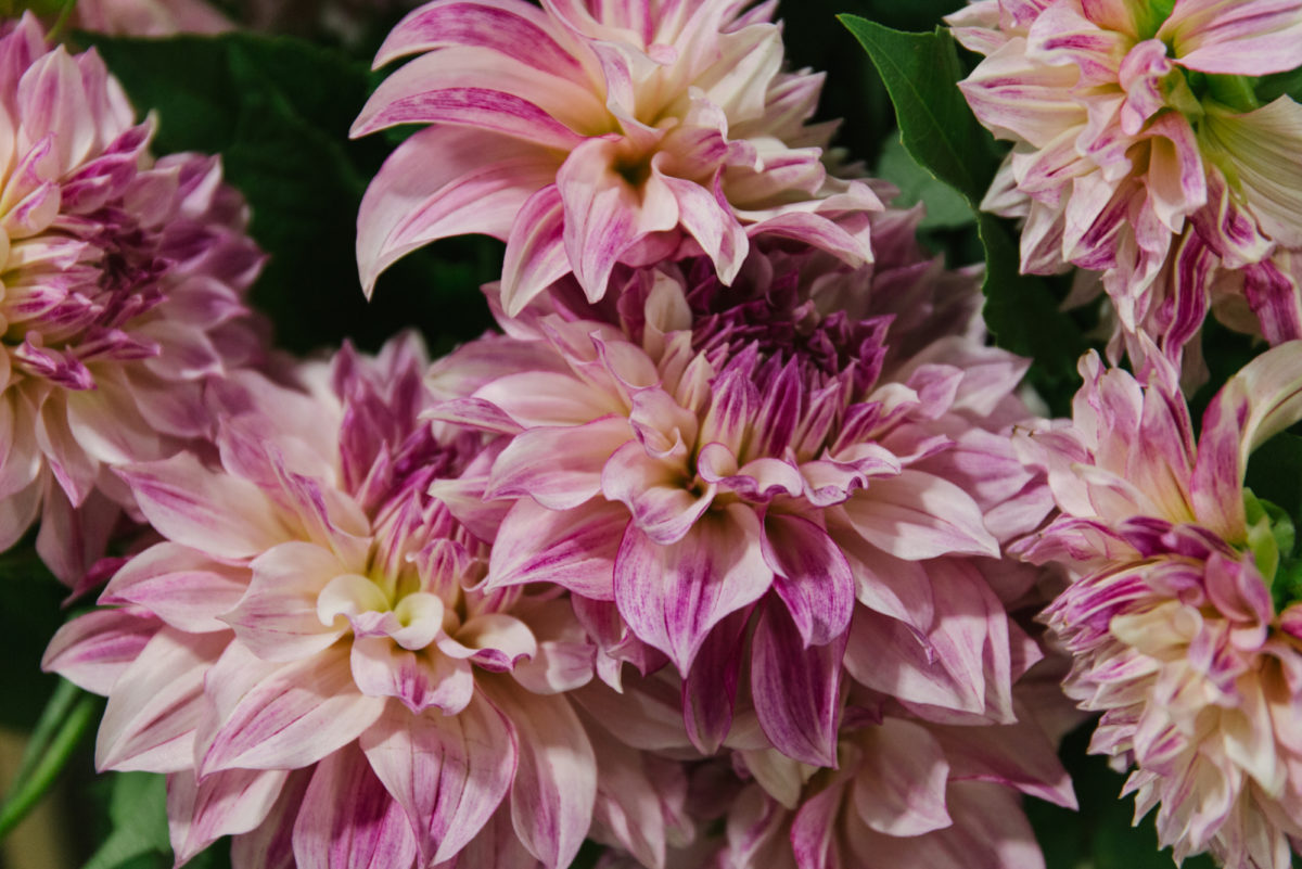 New Covent Garden Flower Market October 2018 In Season Report Rona Wheeldon Flowerona Dahlia Café Au Lait Royal At Bloomfield