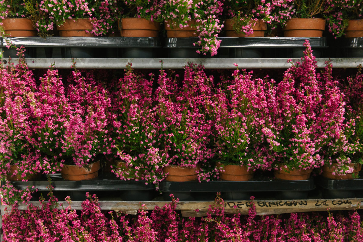 New Covent Garden Flower Market October 2018 In Season Report Rona Wheeldon Flowerona Erica Gracilis Plants At Evergreen Exterior Services