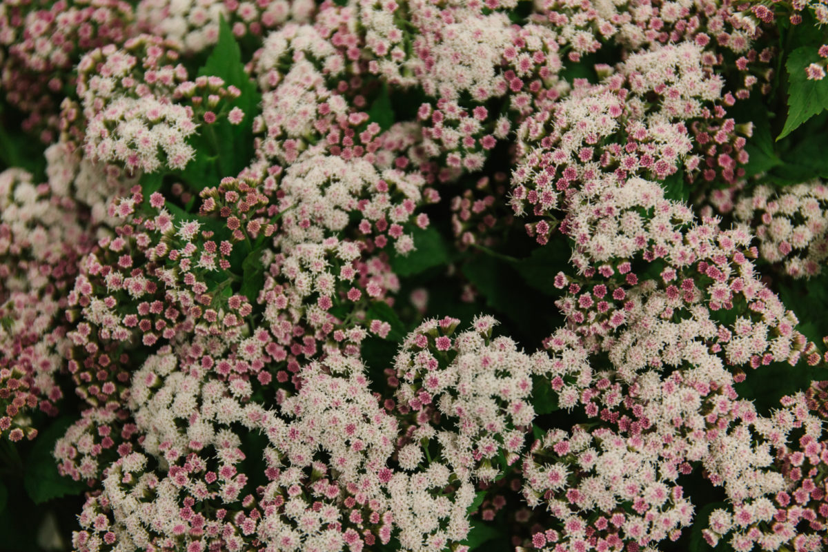 New Covent Garden Flower Market October 2018 In Season Report Rona Wheeldon Flowerona Eupatorium Lucky Pink At Dennis Edwards Flowers