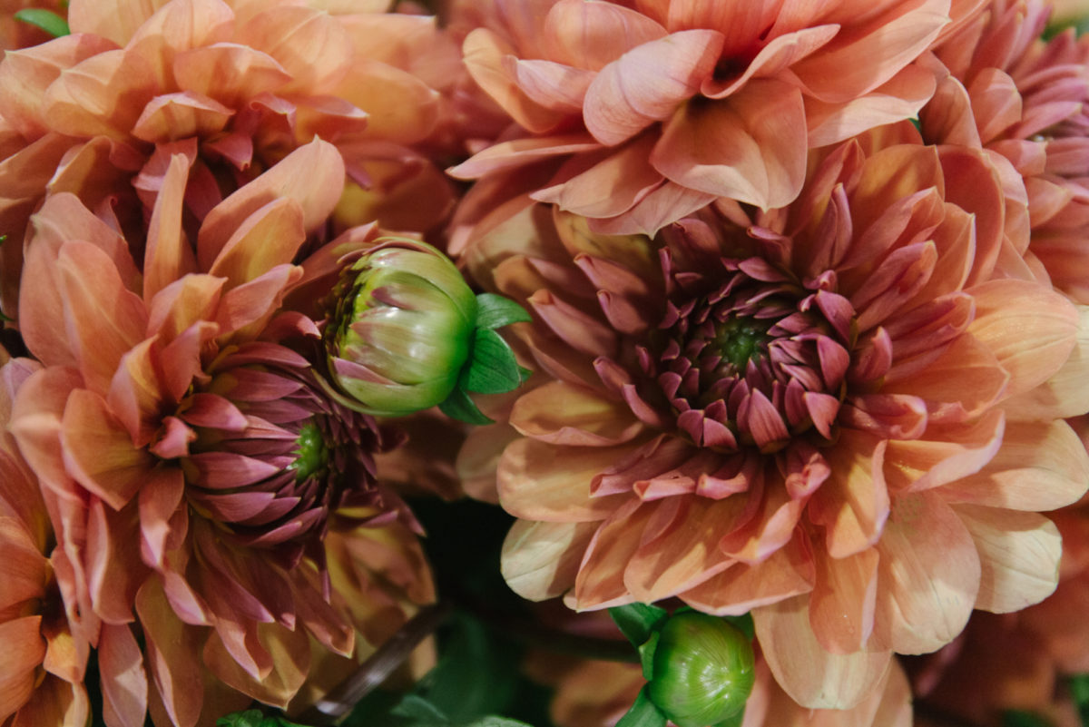 New Covent Garden Flower Market September 2018 In Season Report Rona Wheeldon Flowerona British Pale Orange Dahlias At Zest Flowers