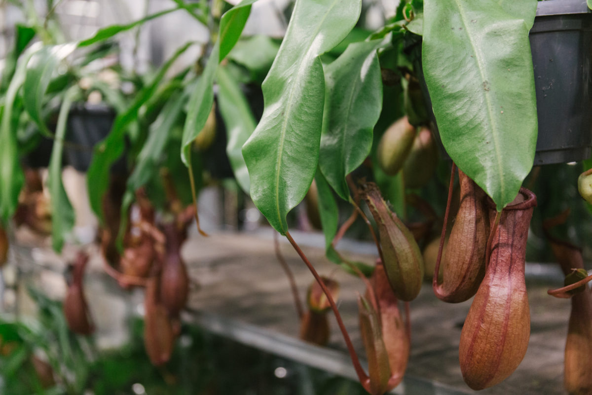 New Covent Garden Flower Market September 2018 In Season Report Rona Wheeldon Flowerona Hanging Nepenthes Plants Also Known As Monkey Jars At Quality Plants
