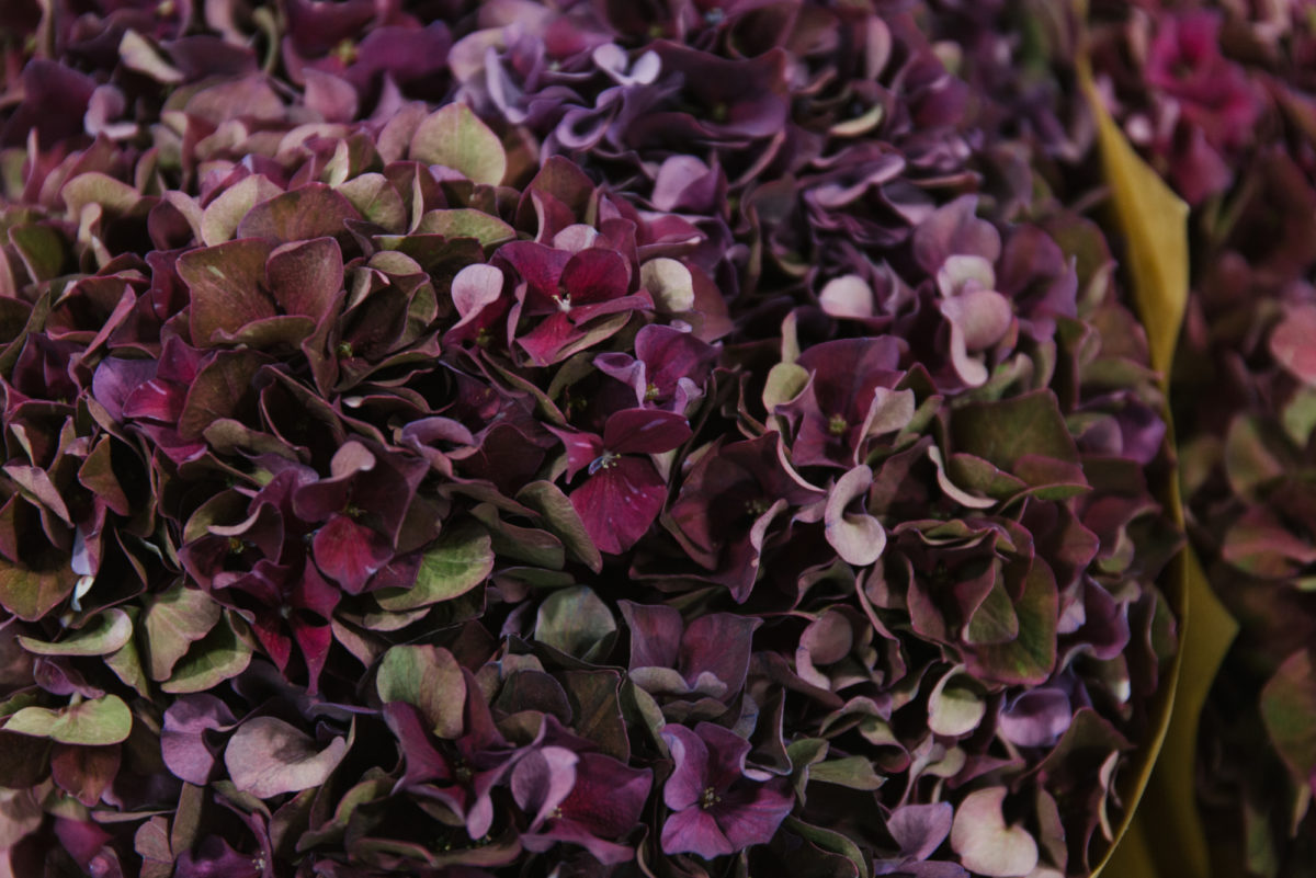 New Covent Garden Flower Market September 2018 In Season Report Rona Wheeldon Flowerona Hydrangea Magical Ruby Red Classic At Bloomfield