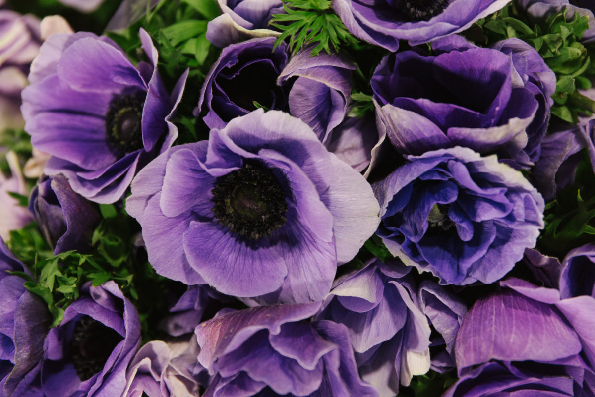 The Hottest Flowers Foliage Plants Sundries Trends For 2018 Rona Wheeldon Flowerona New Covent Garden Flower Market Super Anemones At Dg Wholesale Flowers