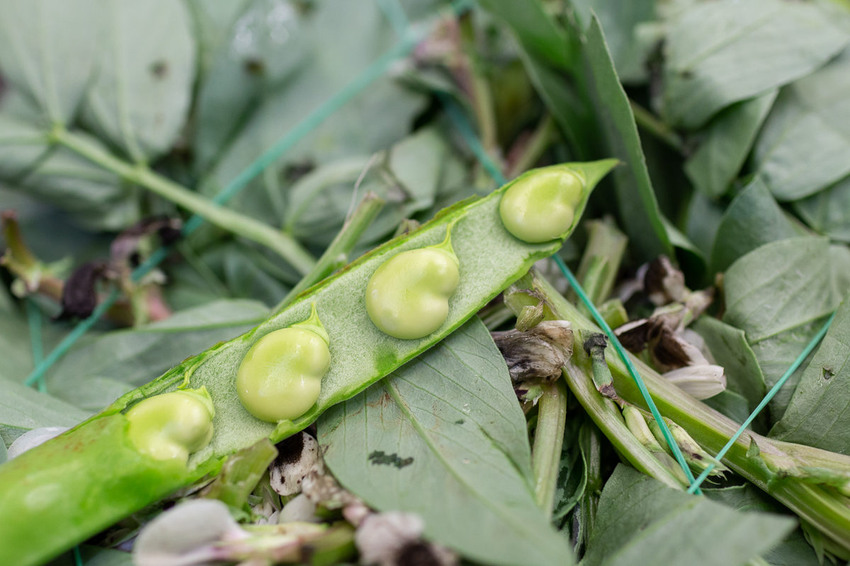 Fruit And Veg Market Report February 2019 Broad Beans