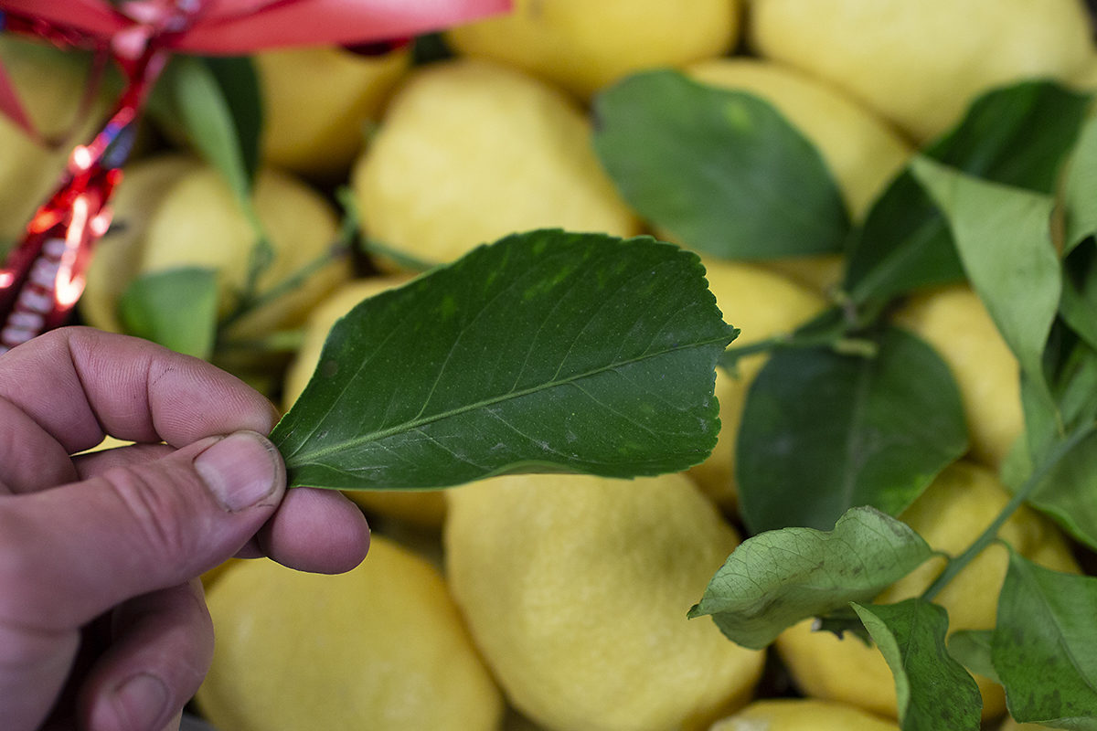 Fruit And Vegetable Market Chefs Guide Root To Flower Lemons