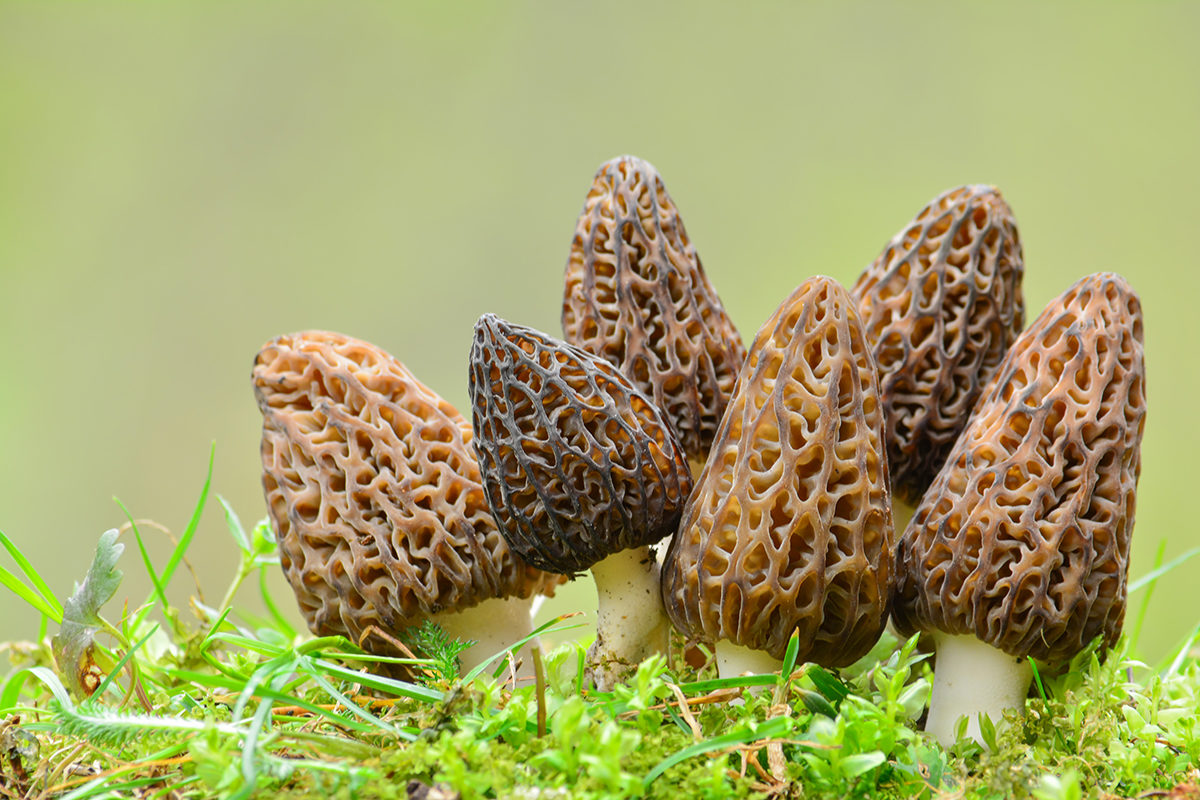 Fruit And Vegetable Market Chefs Guide To Morels Growing Wild