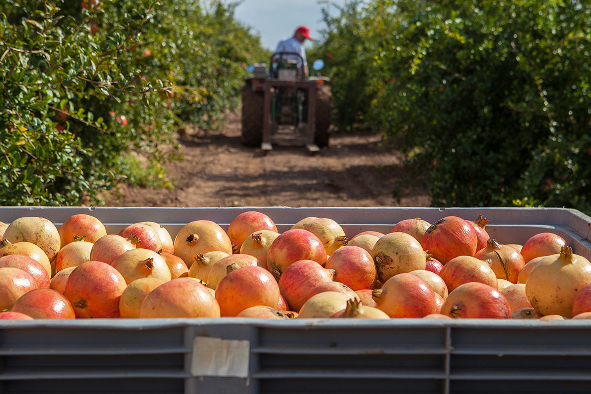Fruit And Vegetable Market Chefs Guide To Pomegranates Tractor In Orchard