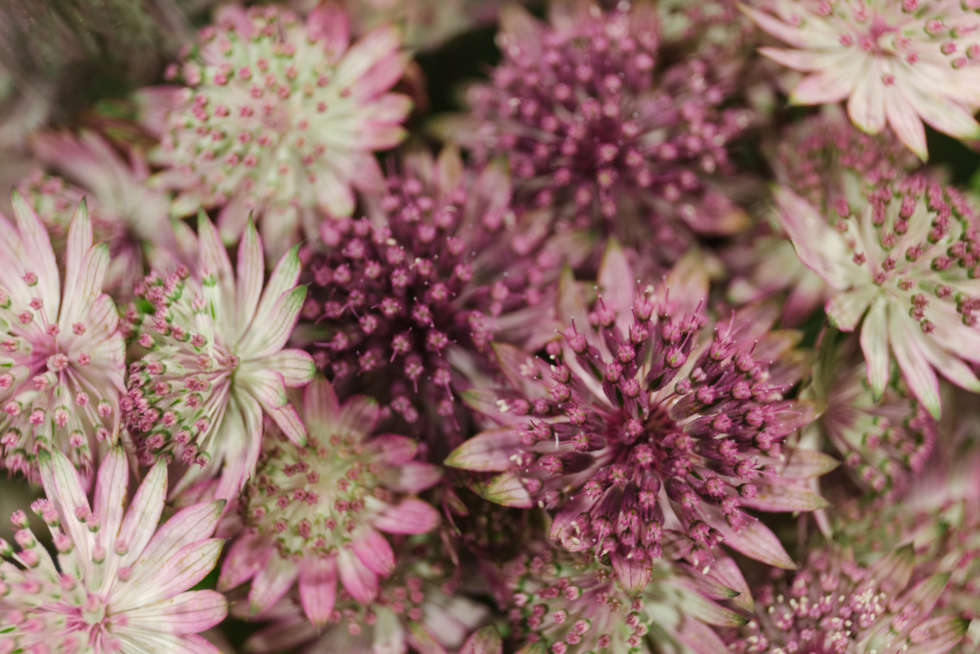 A florist's guide to astrantia
