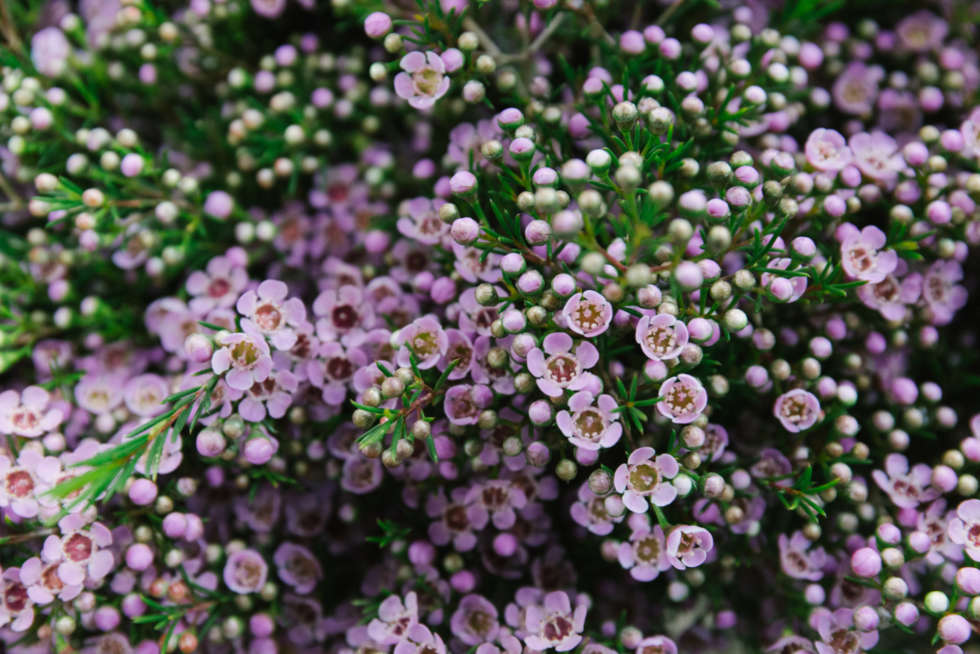A florist's guide to waxflower