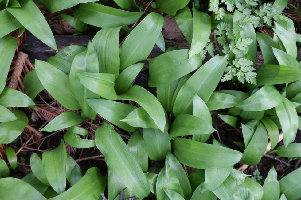 A chef's guide to wild garlic