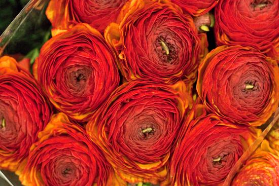 Cloni Ranunculus