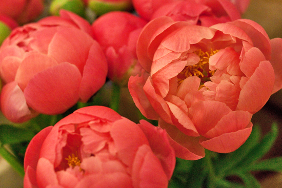 Coral Peony
