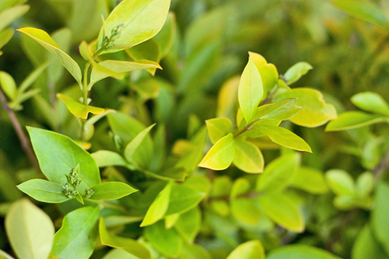 British Gold Privet
