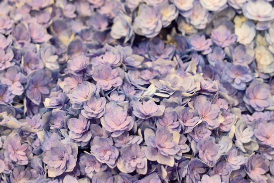Hydrangea macrophylla 'You & Me Together' at New Covent Garden Flower Market