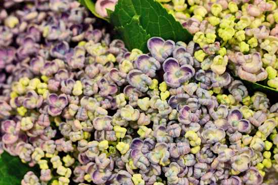 Hydrangea Popcorn at New Covent Garden Flower Market