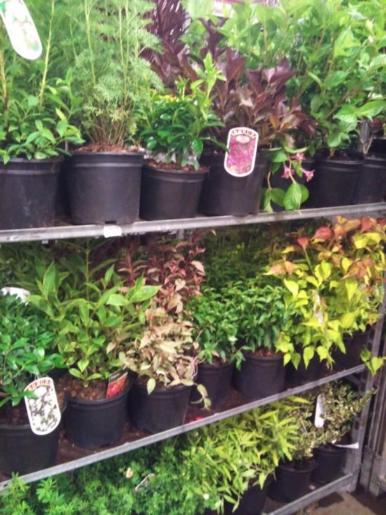 Foliage shrubs