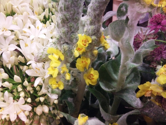 Verbascum at J Waitson Flowers