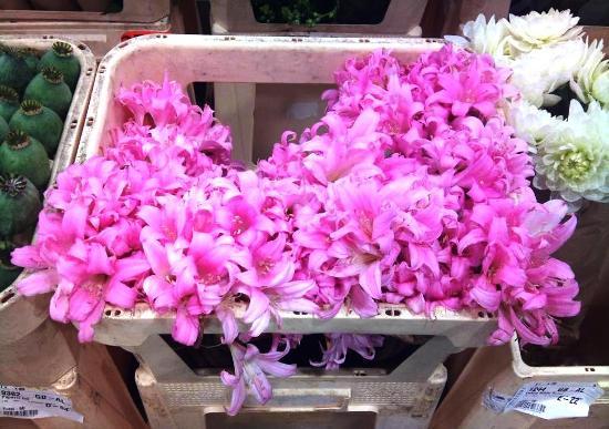 Amaryllis belladonna open