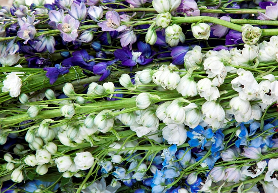 British Delphiniums