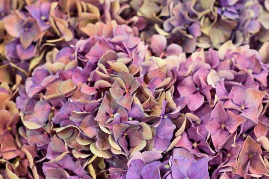 Hydrangeas at New Covent Garden Flower Market