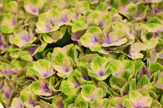 Hydrangeas at New Covent Garden Flower Market