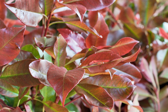 British photinia