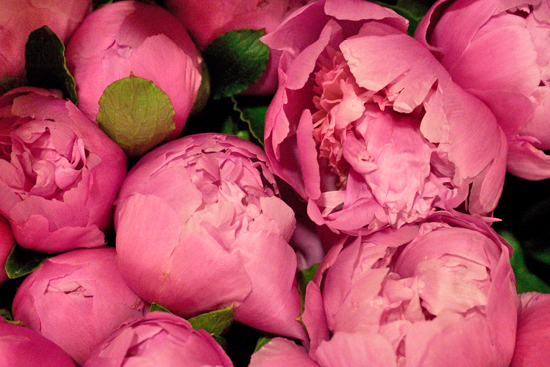 Strong Pink Peony