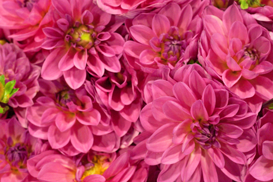 Dahlias at New Covent Garden Flower Market