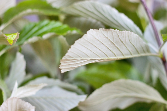 British White Leaf, also known as Hornbeam