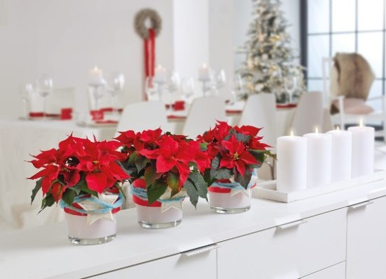Red potted poinsettias