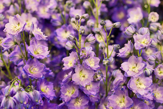 British delphiniums at New Covent Garden Flower Market