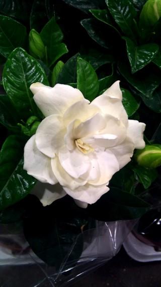 APR_gardenia_close.jpg