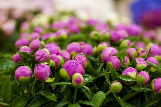 British Peonies at New Covent Garden Flower Market